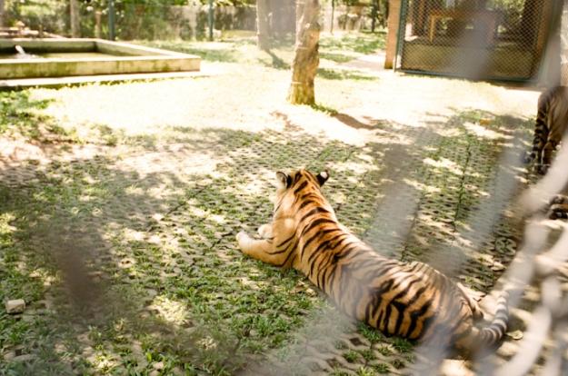 Tiger-Kingdom-Chiang-Mai-Thailand-700x464