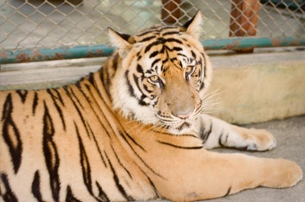 Tiger-Kingdom-in-Chiang-Mai-700x464